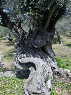 Another ancient tree