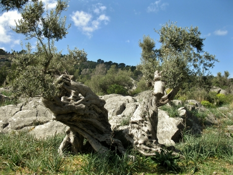 Really old olive trees